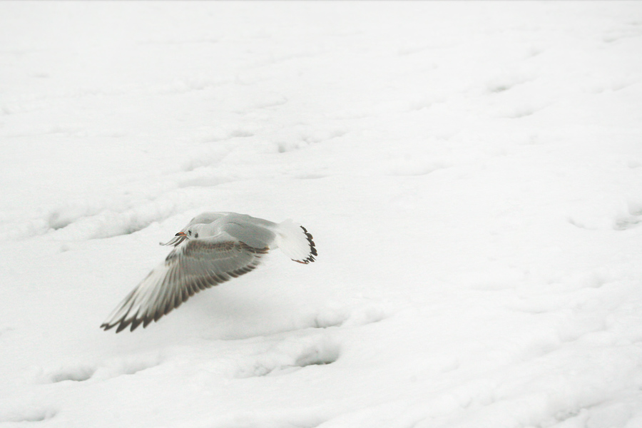 seagull_over_snow